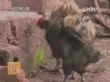 [农广天地]兰坪绒毛鸡养殖技术(20140624)