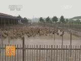 [农广天地]巢湖鸭养殖技术(20140701)