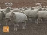 [农广天地]敖汉细毛羊养殖技术(20140701)