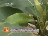 套袋栽培技术农广天地,套袋栽培梨黄粉蚜的防治
