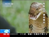 马来西亚:斗蛇人挑战亲吻眼镜王蛇