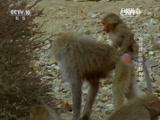 《自然传奇》 20160111 狒狒真能驯化狗吗
