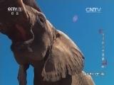 《动物世界》 20160128 角马的六千里路(中)