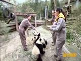 [远方的家]特别节目:走进碧峰峡熊猫基地