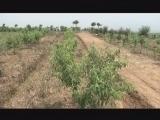 早熟红桃栽培技术
