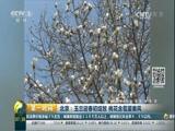 北京:玉兰迎春初绽放 桃花含苞望春风