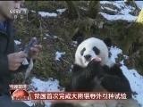 [视频]我国首次完成大熊猫野外引种试验