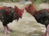 有一种鸡的脚比人手腕还粗? 是真的吗 2017.10.28 - 中央电视台 00:07:31