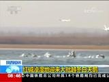[朝闻天下]陕西榆林 红碱淖湿地迎来大批越冬白天鹅