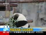 [朝闻天下]辽宁 大熊猫练站立 憨态可掬