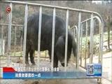 [贵州新闻联播]马金堡:驻村干部领办可乐猪产业