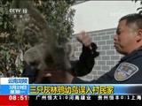 [朝闻天下]云南龙陵 三只灰林鸮幼鸟误入村民家