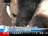 """[朝闻天下]四川成都 阳春三月 大熊猫进入""""繁育季"""""""