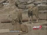 看鼻子可以分辨狮子的年龄 是真的吗? 2018.05.07 - 中央电视台 00:06:44