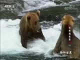 《动物世界》 20180516 棕熊捕鱼季(上)