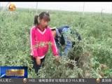 [甘肃新闻]靖远枸杞采摘节将于7月下旬举办