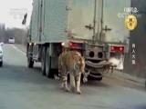 《自然传奇》 20180715 食人大猫