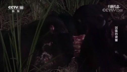 《自然传奇》 20181206 凶猛的袋獾