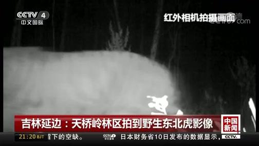 [中国新闻]吉林延边:天桥岭林区拍到野生东北虎影像