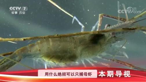 《科技苑》 20190115 树枝捕母虾 青虾生出大个儿娃