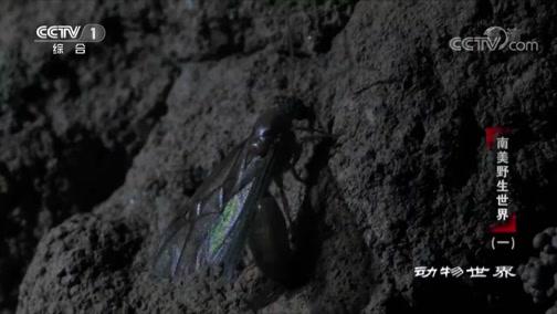 [动物世界]萤火虫的巧妙伪装 指路明灯变成危险陷阱