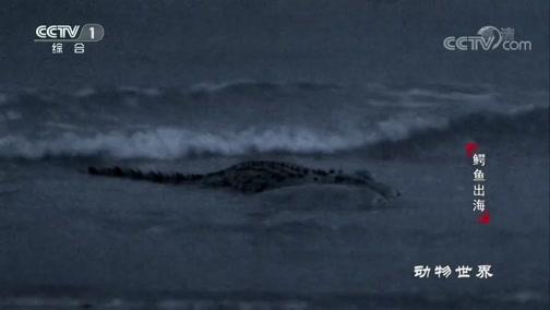 [动物世界]咸水鳄开启捕猎模式 暴力凶残 猎物平背龟无处可逃