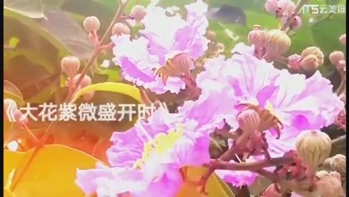【微拍厦门】大花紫薇盛开时 00:04:33
