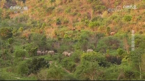 [自然传奇]大象食欲有多惊人?每天需要进食16小时