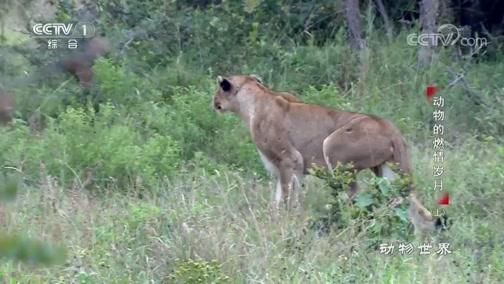 [动物世界]斑马百般折腾 却依旧没能逃脱狮子的利爪