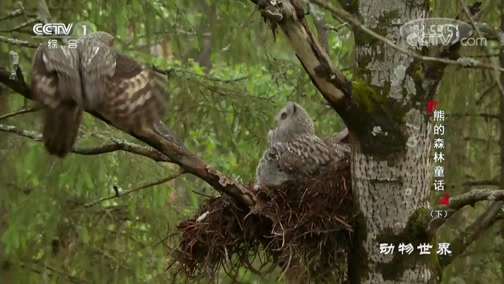 [动物世界]乌林鸮宝宝们为了食物 全然不顾姐妹情谊