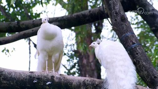 《动物好伙伴》第三季精彩看点:白孔雀