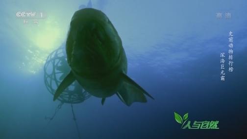 [人与自然]史前邓氏鱼有多可怕?曾统治整个海洋达2000万年