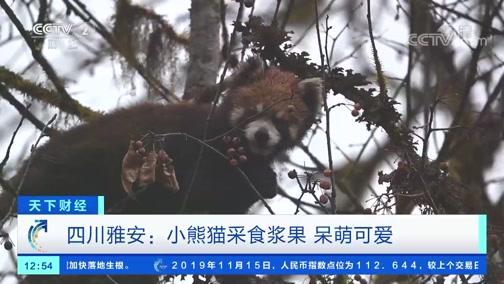 [世界财经]四川雅安:小熊猫采食浆果 呆萌可爱