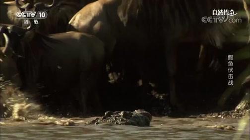 《自然传奇》 20200203 鳄鱼伏击战