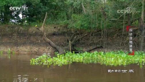 《动物世界》 20200313 探访湿地迷宫