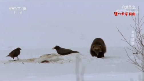 《自然传奇》 20200414 北美狼獾