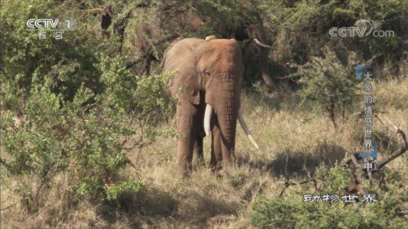 《动物世界》 20200903 大象的情感世界(中)