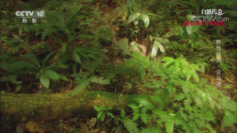 《自然传奇》 20200918 野性自然·亚马逊