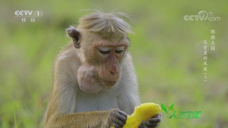 《人与自然》 20200927 猕猴王国——天堂里的风波(上)