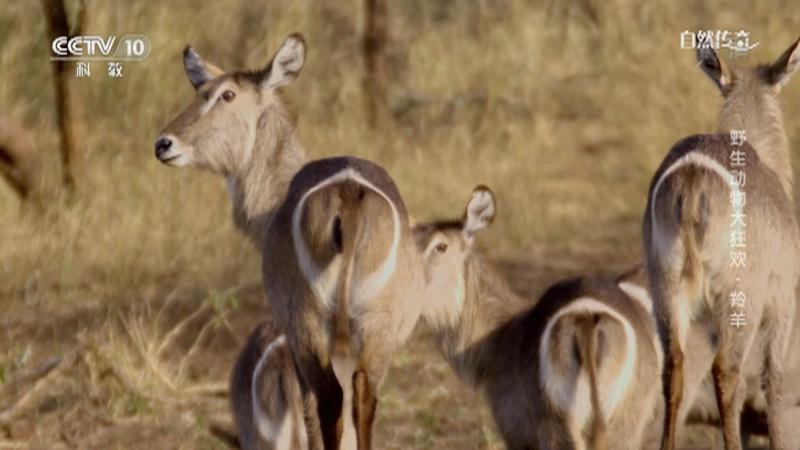 《自然传奇》 20210103 野生动物大狂欢·羚羊