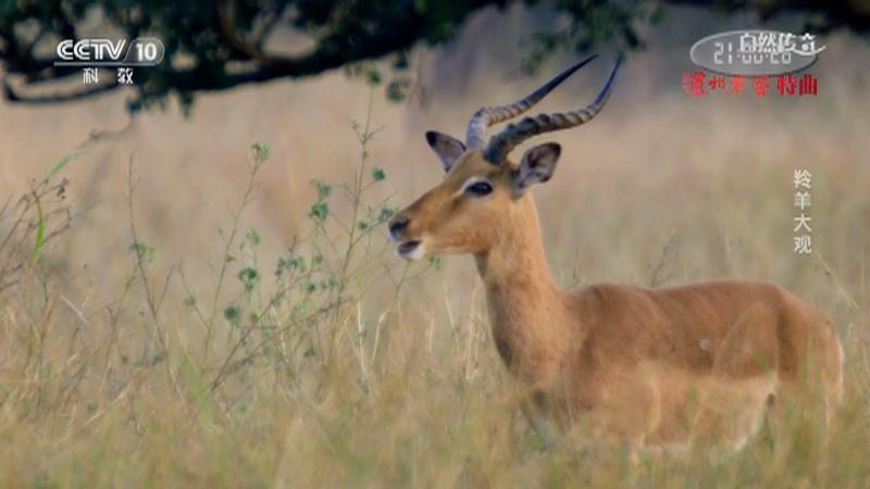 《自然传奇》 20210224 羚羊大观