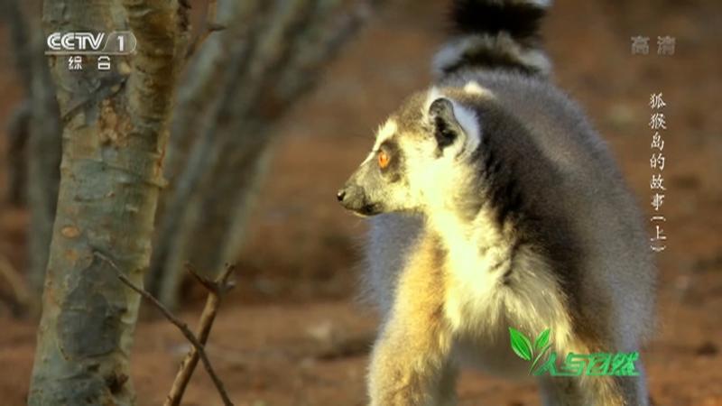 《人与自然》 20210317 狐猴岛的故事(上)