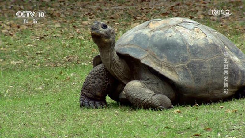《自然传奇》 20210331 龟的世界多精彩