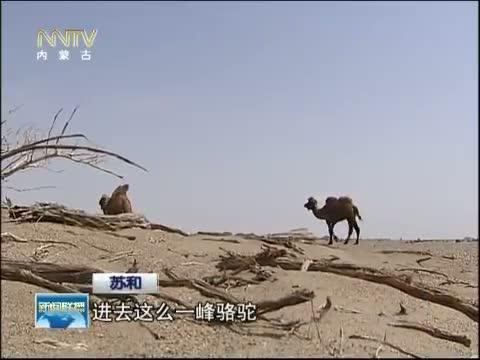 [内蒙古新闻联播]时代楷模 系列报道:大漠梭梭——苏和 三、生长