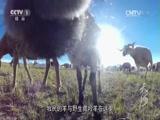 [天河]第一集 源 与野生藏羚羊和睦相处