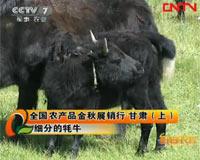 细分的牦牛