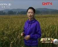 大山里的红米