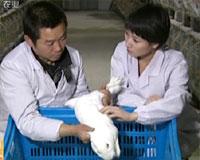 选育的兔子有钱赚