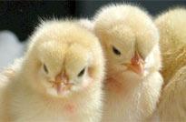 <center>如何提高雏鸡成活率</center>