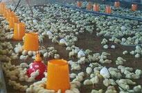 <center>发酵床养鸡技术</center>